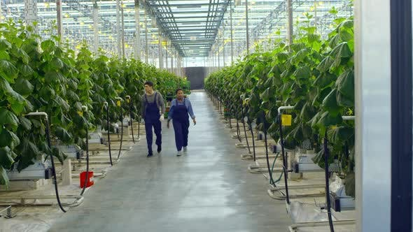 Cover Image for Greenhouse Workers Walking and Talking