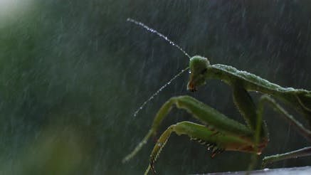 Thumbnail for Close up Of the Praying Mantis Under the Rain on A Green Forest Background