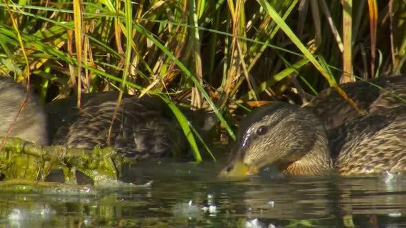 Mallard Female Adult Young Family Eating Feeding in Summer Dabbling Bottom Standing Stirring