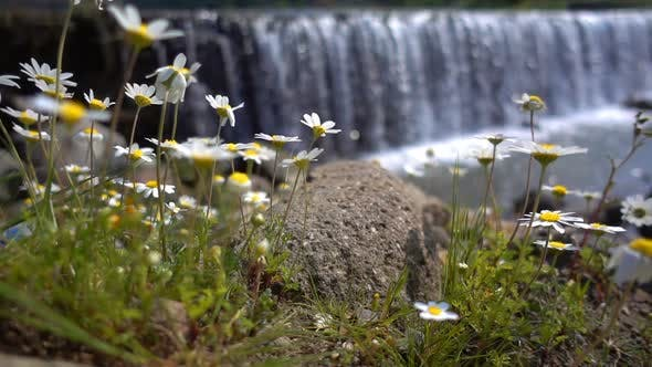 Thumbnail for Daisy Flower And Waterfall Behind