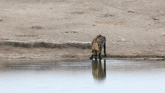 Spotted hyena drinking water Namibia, Africa safari wildlife
