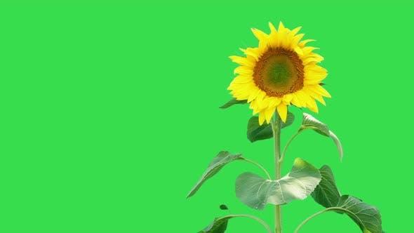 Thumbnail for Sunflower On Green 2
