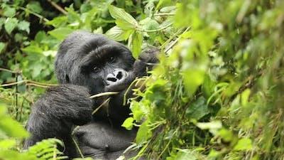 Silverback Gorilla Eating Leaves