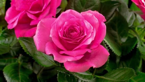 Thumbnail for Zeitraffer der Öffnung lila Rose Blume