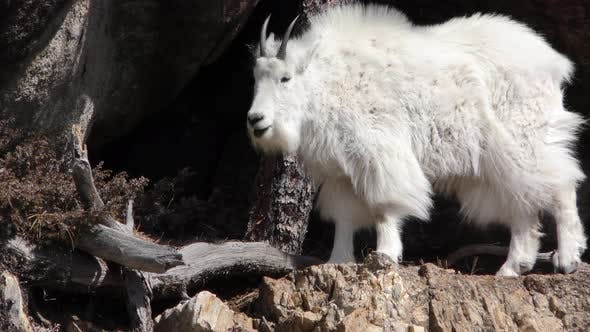 Thumbnail for Rocky Mountain Goat Standing Looking Around on Cliff Ledge in Black Hills