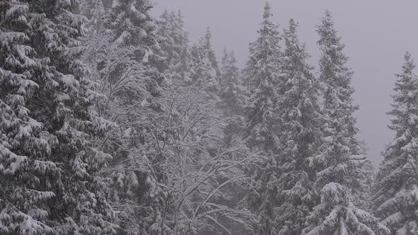 Thumbnail for Winter Snowfall in the Mountain Pine Forest with Snowy Christmas Trees. Slow Motion.