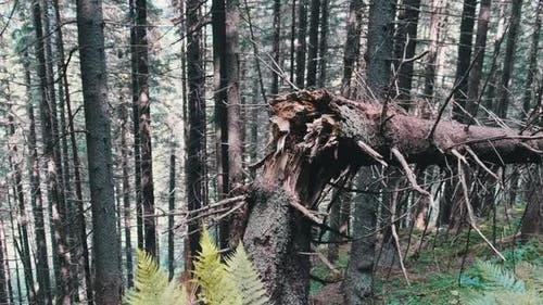 Fallen and Broken By Strong Wind Tall Tree in a Mountain Dense Coniferous Forest.