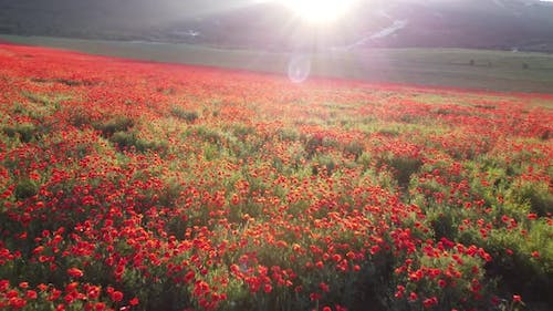 Drone Flying Over a Poppy Field