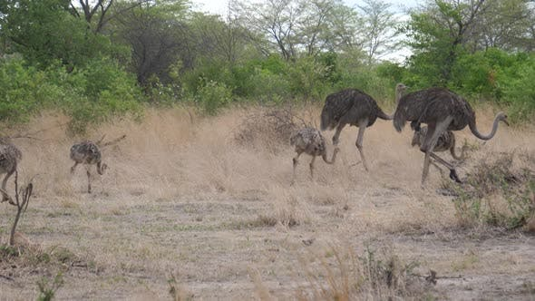 Thumbnail for Ostrich family walking around the bush