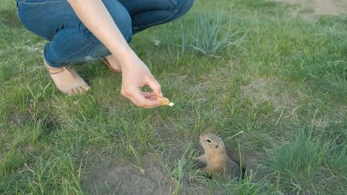 Earth Squirrel Eats From the Hands of a Tourist