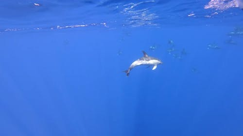 Diving with wild common dolphins in their natural habitat (Madeira, Portugal)