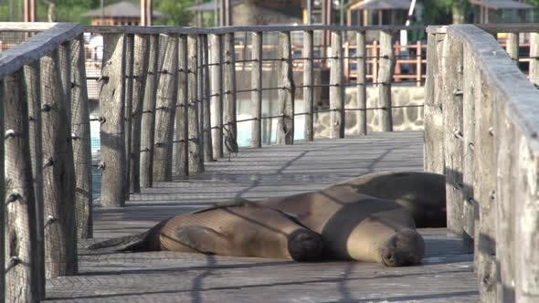 Thumbnail for Seals sleeping at the pier in San Cristobal