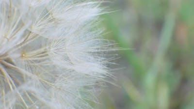 Dandelion on Natural Background
