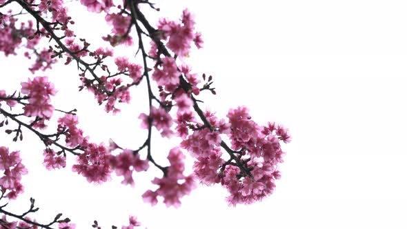 Thumbnail for Sakura On White Background