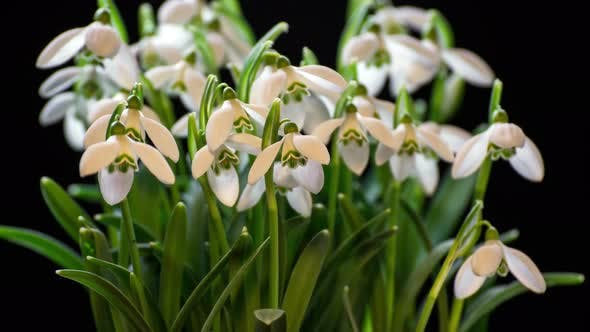 Thumbnail for Snowdrops Blooming Blossom Time Lapse.