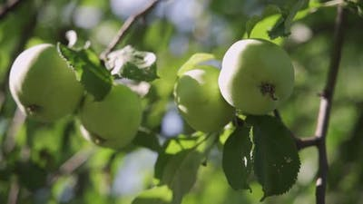 Apple Tree with Green Apples Close Up in Sunlight