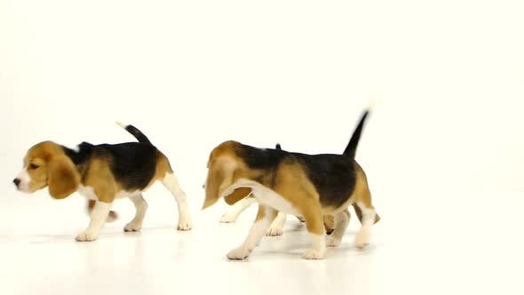 Thumbnail for Cute Beagle Puppy (5 Week Old). Slow Motion