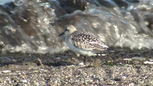 Thumbnail for Western Sandpiper Several in Autumn Waves Surf Gravel in Alaska