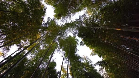 Arashiyama bamboo forest in Japan