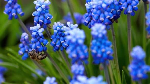 Thumbnail for Bee Flying Near Muscari Flower