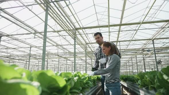 Thumbnail for Agronomie-Ingenieure überprüfen eine Produktion von Bio-grünem Salat