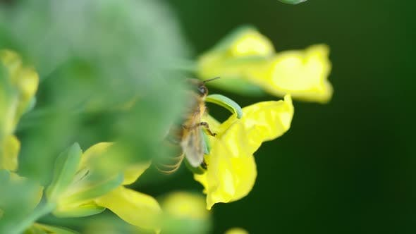 Thumbnail for Bee on a Flower of Brassica Oleracea