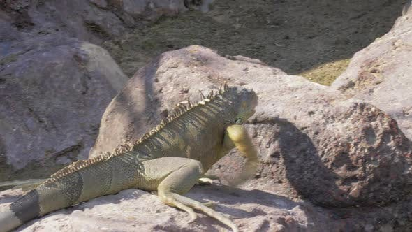 - Green Iguana Searching for Place To Sunbathe