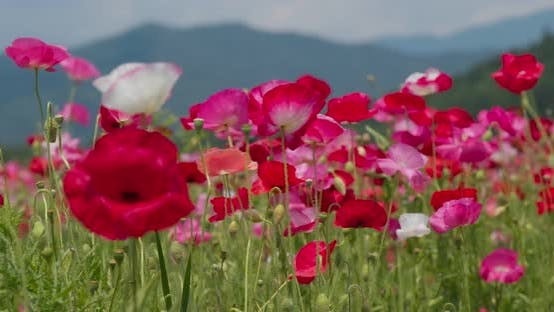 Thumbnail for Pink Poppy Flower Field Garden
