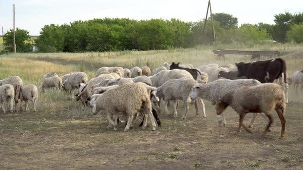 Thumbnail for A Flock of Sheep and Cows Are Running on the Farm. Helpless Animals Are Led By a Shepherd.