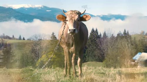 Farm cow grazing on alpine pasture meadow in summer mountains.
