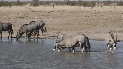 Oryx in Water and Kudu Approaching