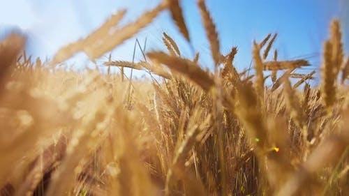 Nahaufnahme des goldenen Weizenfeldes gegen den blauen Himmel im Feld bewegliche Kamera Filmaufnahme