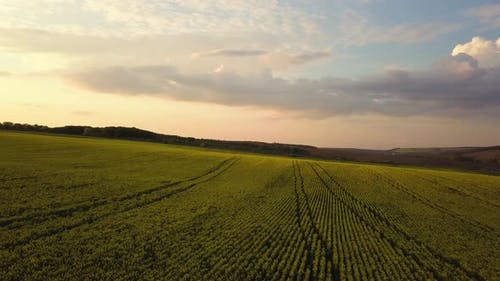 Aerial view of bright green agricultural farm field with growing rapeseed plants at sunset
