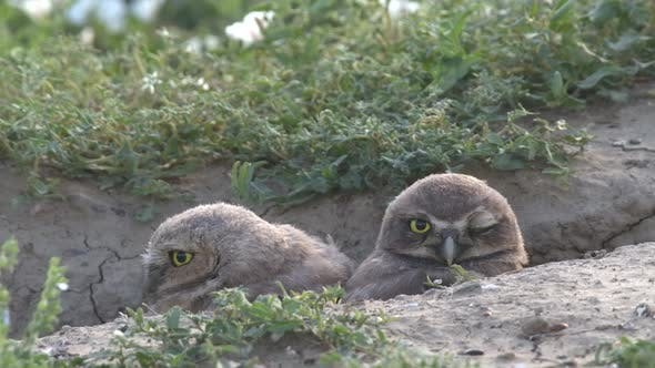 Thumbnail for Burrowing Owl Young Chicks Pair Looking At Camera in Summer Burrow