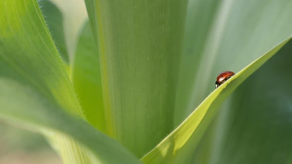 Thumbnail for Slow motion ladybird on the corn leaf 1920X1080 HD footage -  Close-up of Coccinellidae  red beetle