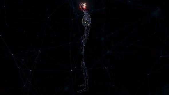 Cardio Vascular System Of Man 4k
