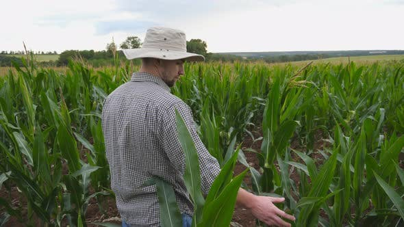 Handsome Farmer Standing at Field and Gently Touching Cornstalk at Organic Farm. Male Young Worker