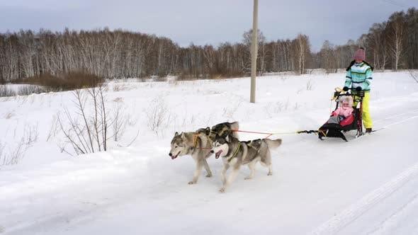 Husky dogs running in harness