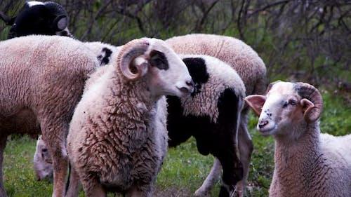 The Mammal Animal Sheep Near The River