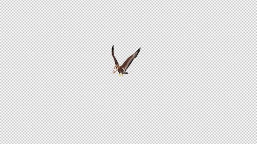 Golden Eagle With Snake - Flying Transition - III