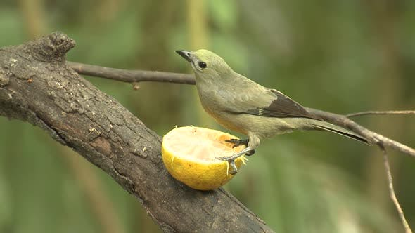 Cover Image for Palm Tanager Adult Lone Eating Feeding Fruit Orange in Costa Rica
