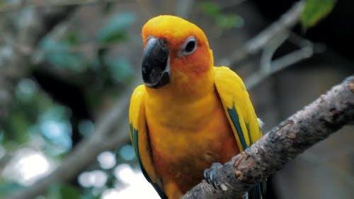 Beautiful Colorful Sun Conure (Aratinga Solstitialis Parrot) Bird on the Tree Branch