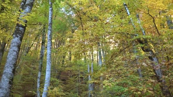 Superbe Forêt Jaune en automne