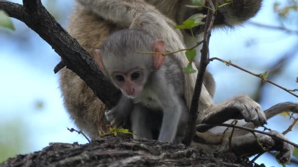 Cute baby vervet monkey and his mom in a tree