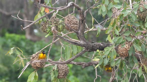 Male Weaver Bird Around His Nest in A Tree