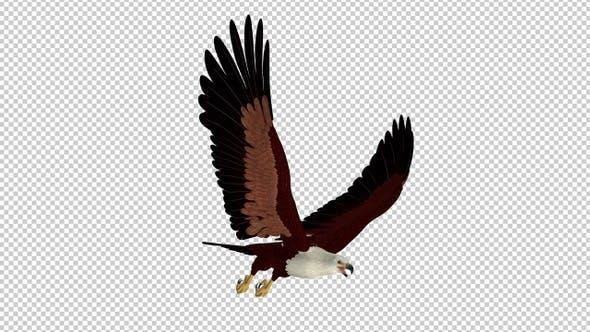 Brahminy Kite - 4K Flying Transition - IV