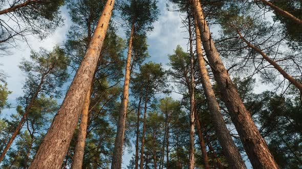 Bottom View to the Tops of the Pines Trees in Forest