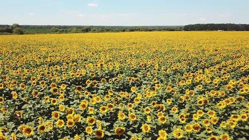 Scenic Sunflower Field