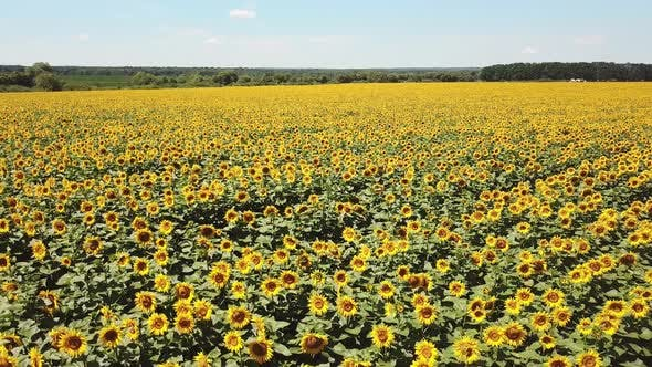Scenic Sunflower Field