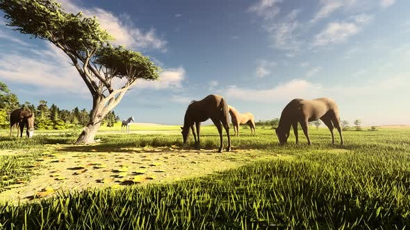 Thumbnail for Grazing Wild Horses
